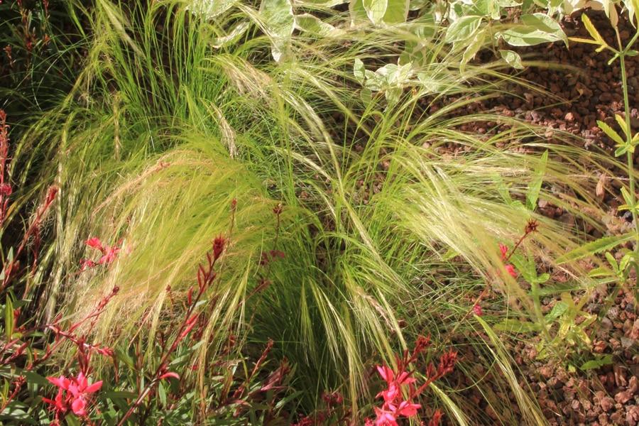 idée plantes méditerranéennes pour cour intérieure : le Zoysia